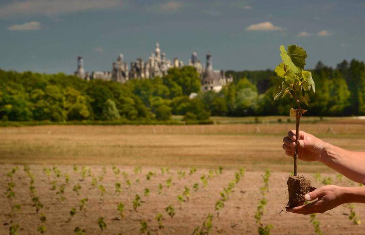 Adoptez un pied de vigne à Chambord